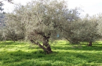 olive_field7