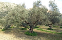olive_field3