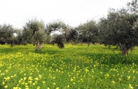 olive_field2